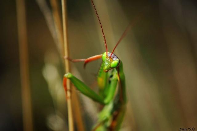 Calugarita, (Mantis religiosa), Dumbrava Vadului, Sercaia, Vad