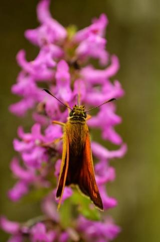 Ochlodes sylvanus, Large skipper,butterfly, Vad, Sercaia, Dumbrava Vadului