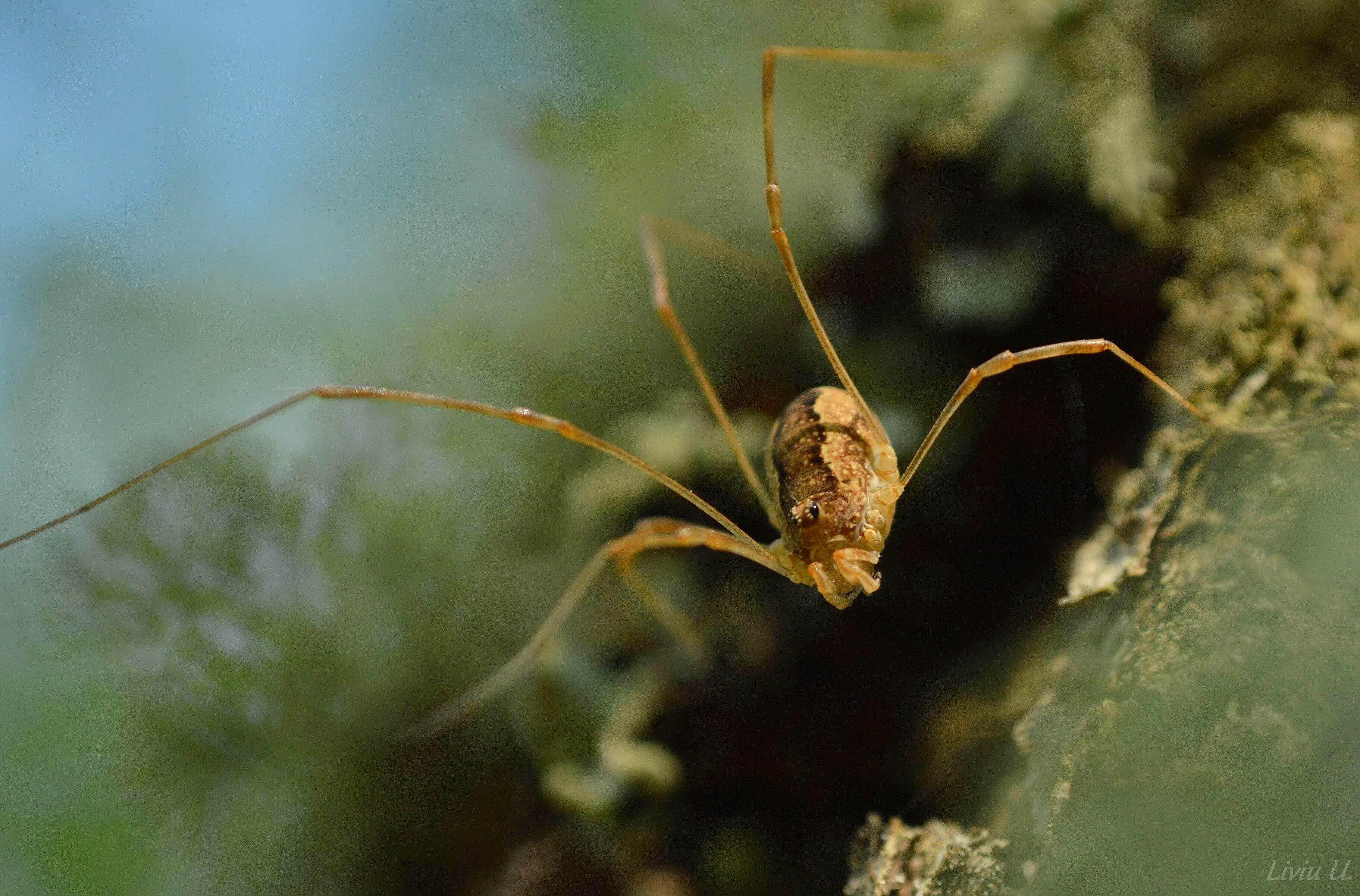 Phalangium opillio, spider, paianjen, Dumbrava Vadului, Sercaia, Vad