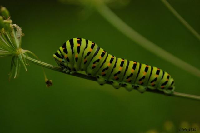 Fluturele Coada Răndunicii, Papilio machaon catterpilar, Sercaia, Vad, Dumbrava Vadului