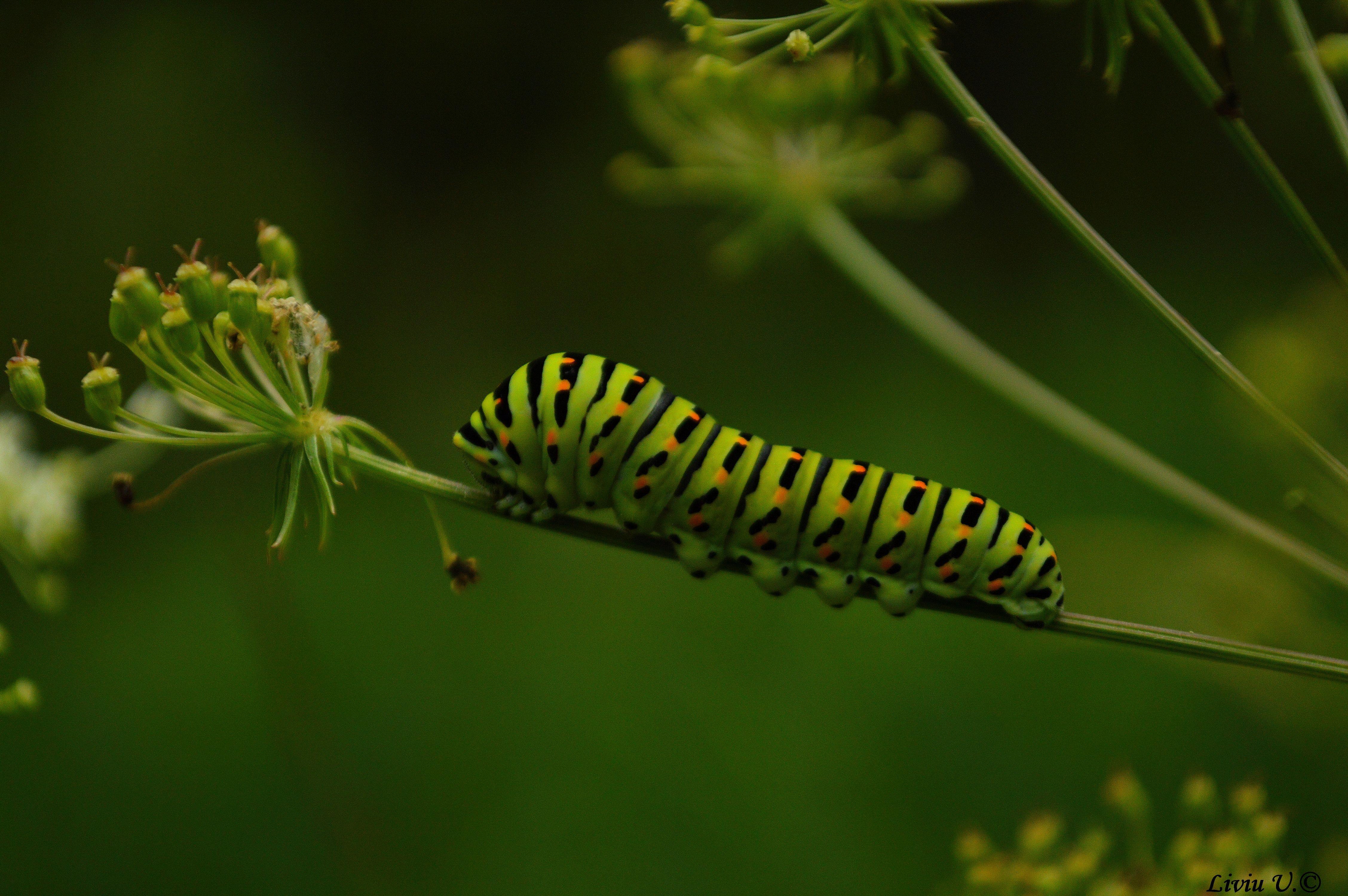 Papilio machaon catterpilar, butterfly, catterpilar, Dumbrava Vadului, Sercaia