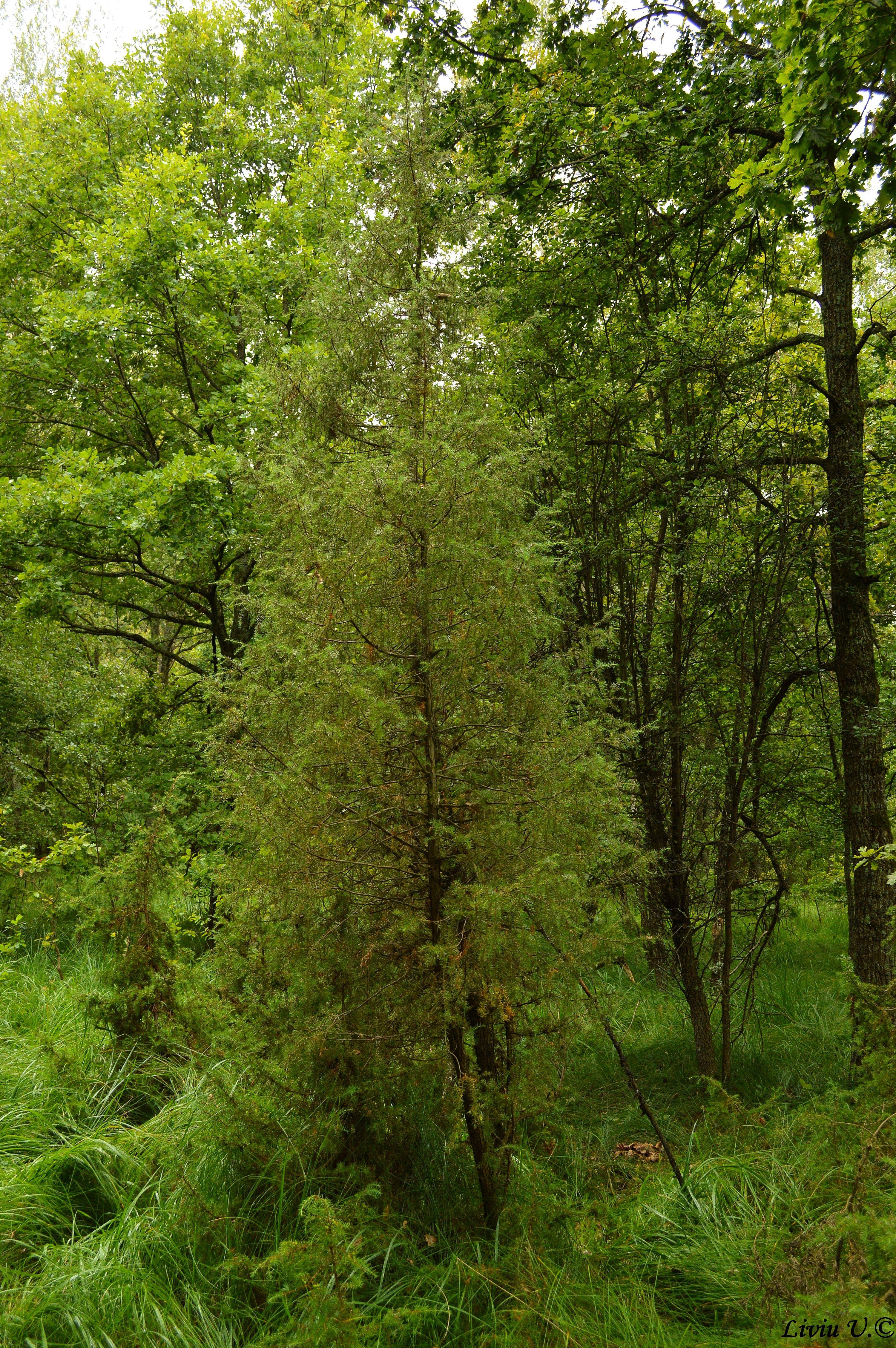 Ienupăr, Juniperus communis, flora Dumbrava Vadului, conifere Romania, conifere Brasov, ienupar comun