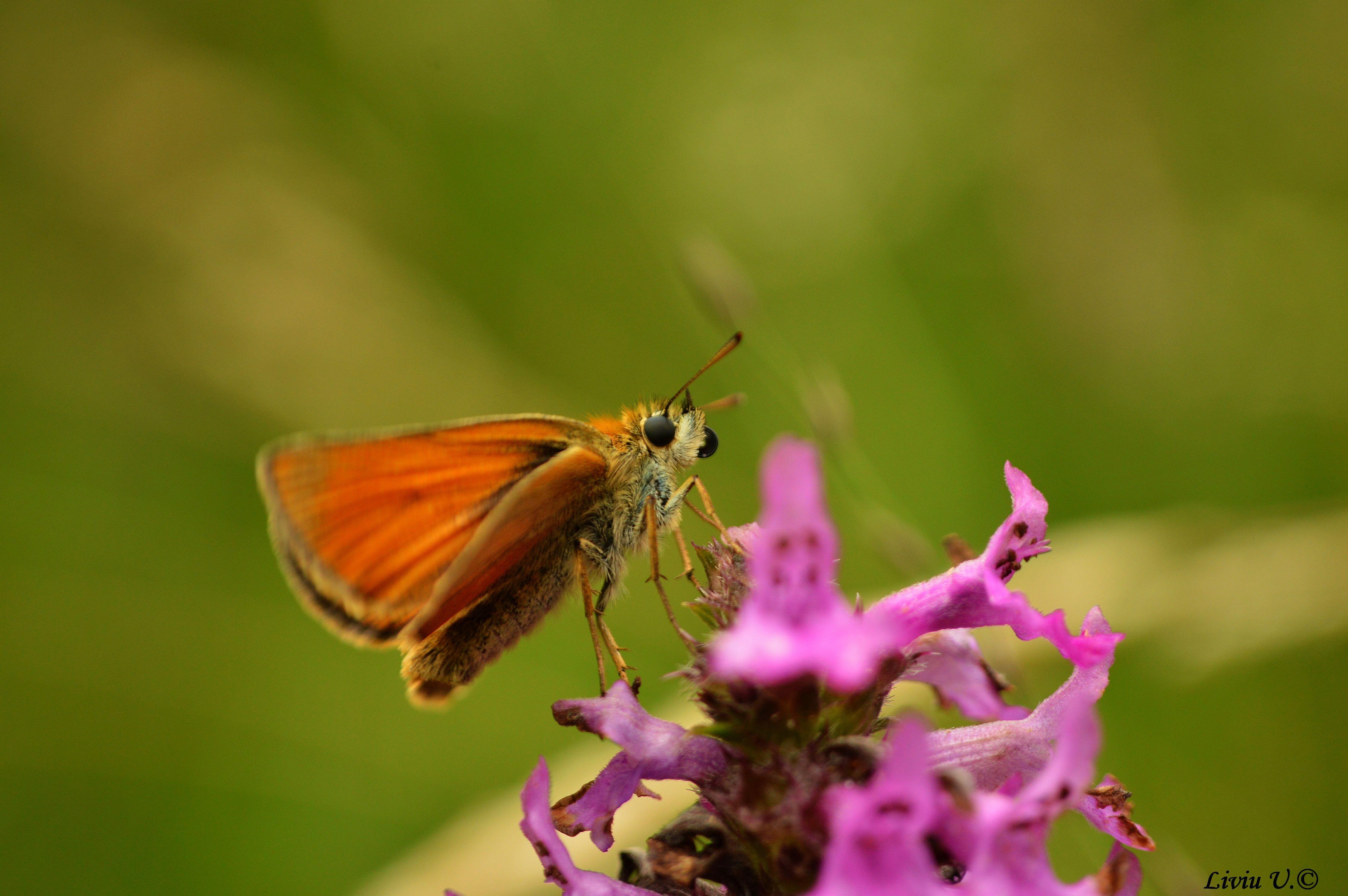 Ochlodes sylvanus, Large skipper, butterfly, Vad, Sercaia, Dumbrava Vadului