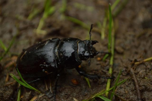 Radasca, Lucanus cervus, stag beetle, Dumbrava Vadului, sit, rezervatie Sercaia, Vad